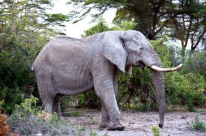 African elephant roaming its home.