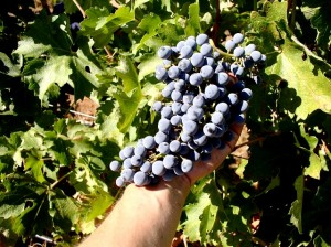 The grapes of Indian Peak Vineyards.