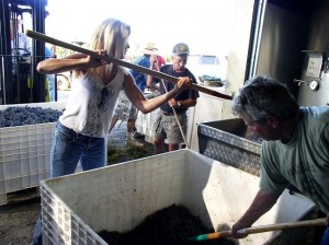 Pitching in for grape harvest at Indian Peak.