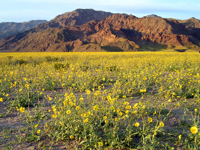 Spring wild flowers in Death Valley NP, California. Photo by Alan Van, Courtesy National Park Service.