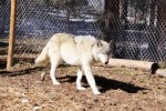 Gray Wolf paces his quarter-acre enclosure at the Wolf Sanctuary in Northern Colorado.