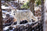 An arctic wolf watches from the safety of her sanctuary.