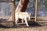 Wolf walking through the forward section of his enclosure. Each animal has about a quarter acre of living space, more than most humans.