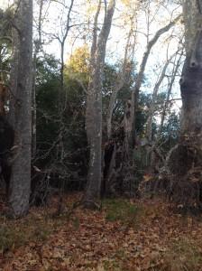 Fall Trabuco Trees