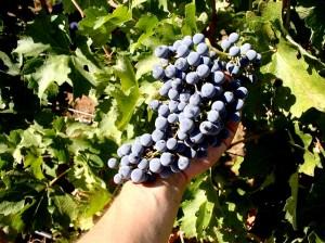 The grapes of Indian Peak Vineyards.