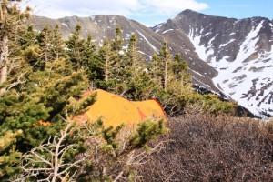 Marmot Thor amongst dwarf pine at 12,000 feet.
